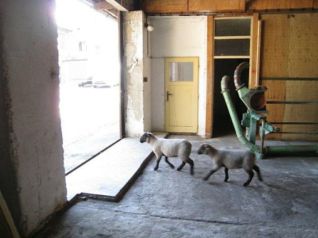 Rychnovští strážníci naháněli dvě zatoulané ovce.