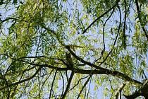 Pták Kalous ušatý patřící mezi sovy se opět usadil ve větvích vrby před městskou knihovnou v centru Dobrušky