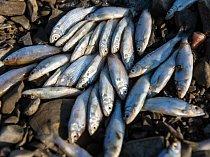 Úhyn ryb na přehradě Rozkoš.