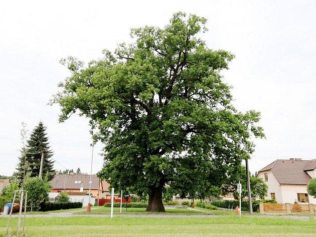 Strom roku: Zvítězí letitý dub spravedlnosti?