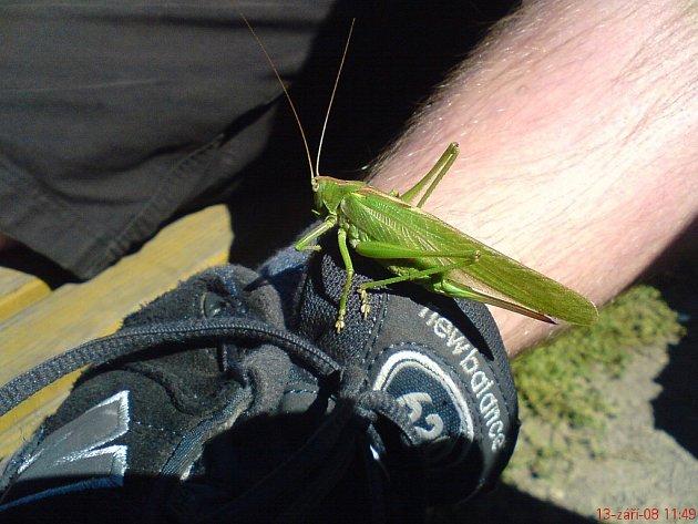 Ze sarančete se vyklubala samička kobylky zelené
