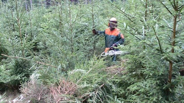 Dřevorubci mají nyní plno práce s řezáním vánočních stromků.  Lesník  Petr Zugar  z Vendolí  pracoval na Javornickém hřebeni.  Motorovou pilou nařezal desítky smrků, borovic a jedliček.