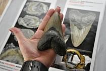 ZUB ŽRALOKA. Miliony let starý artefakt z USA v porovnání s lidskou rukou.