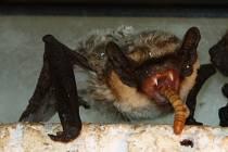 Netopýři mají zuby jako upíři. V záchranné stanici ve Vendolí si pochutnávali na moučných červech.