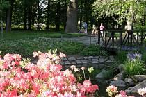 Rododendrony lákají obyvatele města do svitavského parku.