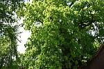Lukasova lípa v Telecím usiluje o titul Strom roku.