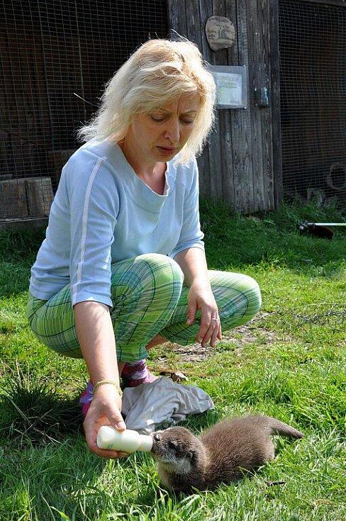 V záchranné stanici ve Vendolí se starají o mládě vydry.