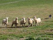 NA PASTVINÁCH v Koclířově předvedli o víkendu ovčáci práci border kolií s ovcemi. Kromě českých chovatelů přijeli také účastníci ze zahraničí.