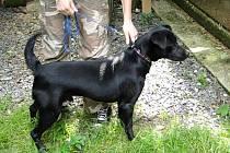Černý pes čeká ve vendolské stanici na nového pána. Potěší ho i svým temperamentem.