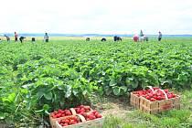 Jahody z farmy táhnou tisíce lidí z kraje