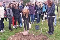 STUDENTI svitavského gymnázia vysazovali  jinany. Arboretum školy se pravidelně rozrůstá už čtyři roky.