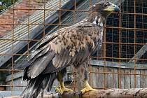 Hendikepovaná samice vzácného orla mořského je ve stanici natrvalo.