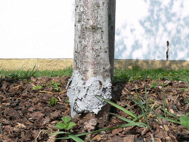 Většina mladých stromů, které město nechalo vysázet, začala od kořenů uhnívat.