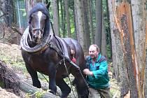 V městských lesích u Strakova popadaly po červnové vichřici stovky stromů. Do svahu se ovšem těžká technika nedostane, proto tady pracují hospodáři s koňmi.