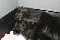 Zraněný pes se ve vendolském útulku zotavuje. Bere léky a   bude možné, aby si ho vzal hodný člověk.