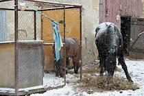 Stav koní se měl podle veteriny zlepšit.