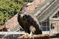 OREL MOŘSKÝ patří k několika druhům vzácných ptáků, kteří v Psí kuchyni hnízdí.