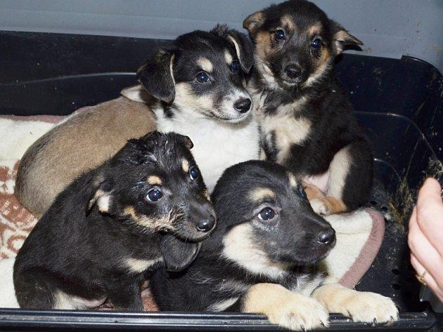 TŘI HOLKY z těchto krásných štěňat čekají v záchranné stanici na nového pána. Pomozte jim najít nový domov.