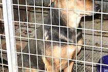 Pejsek je asi osm měsíců starý. Jako všechna štěňata je hravý.