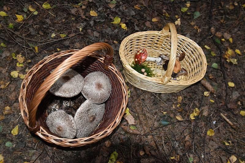 Mykologové našli v lesích na Litomyšlsku a Poličsku desítky druhů hub. Hřibů je ale zatím málo.