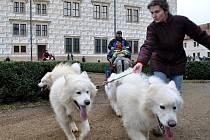 Zámeckou zahradou v Litomyšli běhala spřežení samojedů a psů plemene husky.
