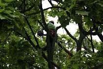 Prořezávání stromů, ilustrační foto.