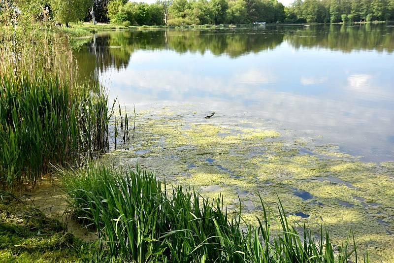 NA ROSNIČKU ve Svitavách se vrací život. Kvalita vody v rybníku se zlepšuje, svědčí o tom i výskyt řasy šroubatky, kterou vloni začali hasiči z hladiny odstraňovat..