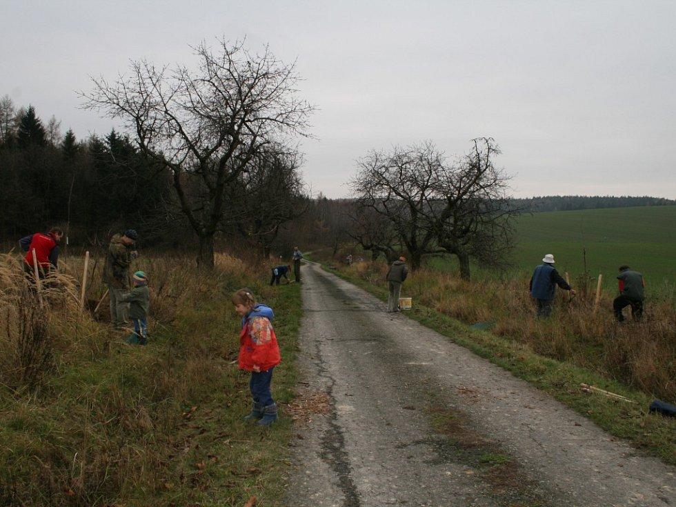 Výsadba nových třešňových stromků v Maříně