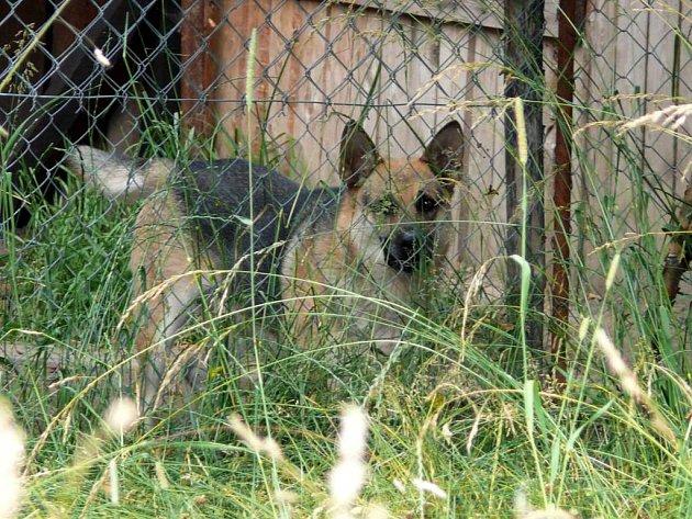 Německý ovčák Max.
