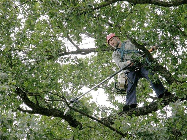 Stromolezci se vyšplhali do větví dubu u Vesny. Prořežou a ošetří celou korunu.