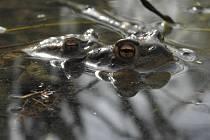 V březnu a dubnu probíhá nejintenzivnější tah obojživelníků ze zimovišť k vodě. Ilustrační foto.