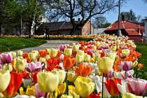 U Finančního úřadu ve Svitavách vykvetly stovky barevných tulipánů.