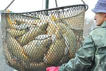 Výlov na Hvězdě. Rybáři začali s výlovem v úterý již časně ráno. V sítích skončily tuny ryb, především kaprů, k vidění ale byly také štiky a další druhy. Většina z nich se objeví na předvánočním trhu.