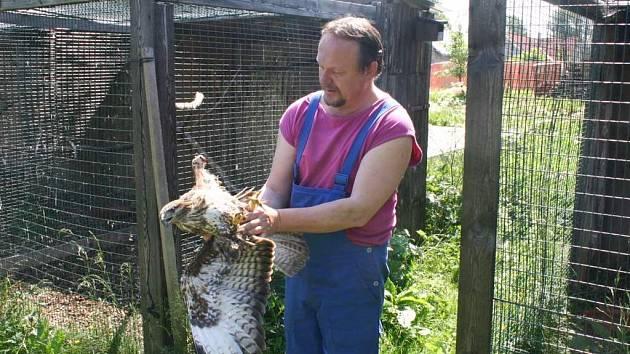 Ilustrační foto: Josef Zelený z vendolské záchranné stanice se zraněným dravcem, kterému proud upálil křídlo.