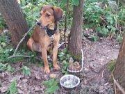 Pes čeká na svého majitele u městské policie v Jevíčku