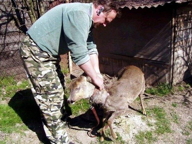 Josef Zelený zachraňuje ve stanici domácí zvířata, ale i lesní zvěř. Srnu, jakmile vyrostla, zřejmě přestala být doma miláčkem, a rodina se jí zbavila.