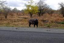BUVOL, na kterého cestovatel Petr Mazal narazil v Tanzánii. Setkání se zvířetem o hmotnosti několika set kilogramů  patřilo mezi příjemnější události.