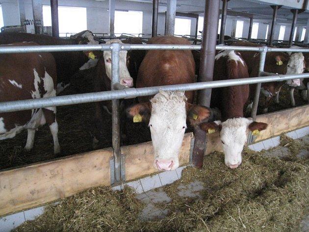 Dojnice chovají ve Vítějevsi v moderním kravíně