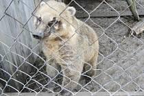 Mezi zvířaty, o která se v záchranné stanici Zelené Vendolí starají, mají také jednu medvídkovitou šelmu - nosála červeného.