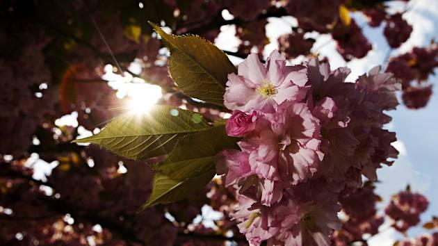 Květ sakury. Ilustrační foto.