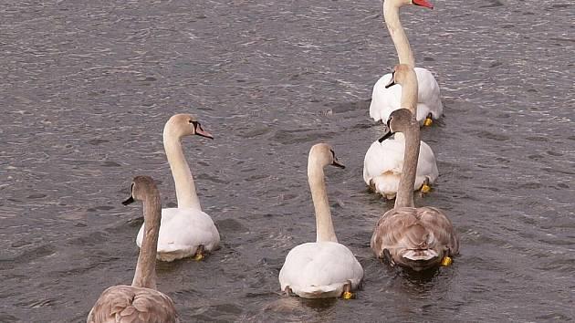 Kroužkované bílé labutě ve Svitavách.