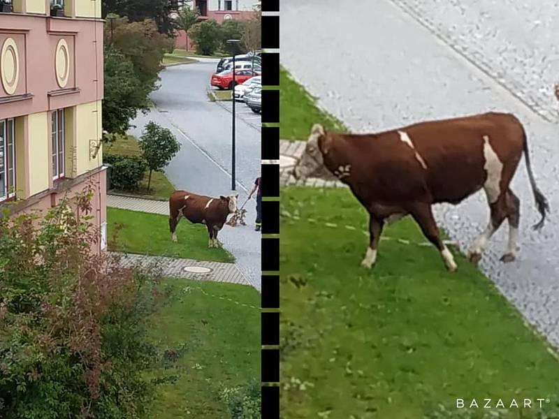 Hasiči v pondělí naháněli stádo krav, které uteklo do centra Poličky.