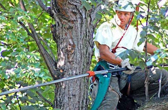 ZDRAVOTNÍ řez v korunách stromů zabral odborníkům několik hodin.