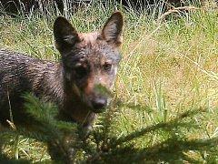 MLÁDĚ vlka jak ho v září 2014 zachytila fotopast v Máchově kraji