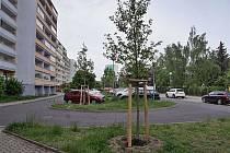 Mladá Boleslav vysadila vzrostlé stromy. Přijely z Holandska.