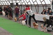 Svatomartinská oblastní výstava psů.