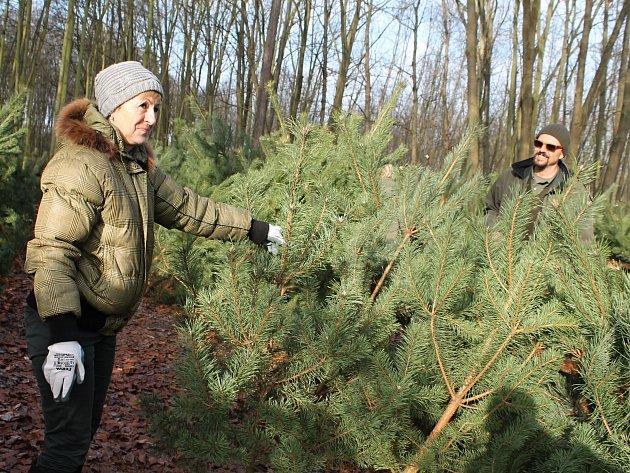 Prodej vánočních stromků z prořízek v benátecké hájovně Okrouhlík.