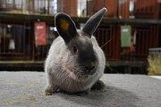 V Dobrovici se v sobotu konala výstava králíků, holubů a drůbeže.