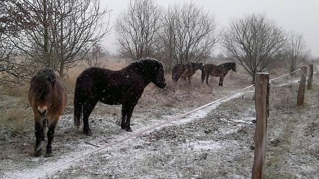 Novými obyvateli Travin jsou vedle divokých koní také pratuři a zubři. Jejich soužití bylo doposud bezproblémové.