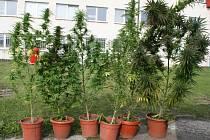 """Tyto rostliny zajistili boleslavští policisté u """"zahrádkáře"""" v Bělé."""